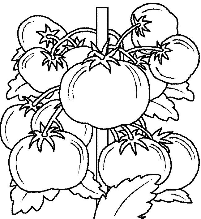 Tomate ausmalbild  Ausmalbilder Frucht oder Obst, bild Gut reife Tomaten