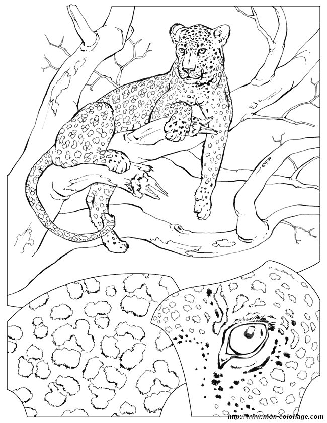 african tiger coloring pages - photo#12